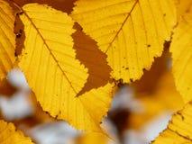 Leaf, Yellow, Deciduous, Autumn Stock Photo