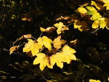 Leaf, Yellow, Flora, Plant royalty free stock photography
