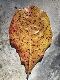 Leaf. Yellow leaf on gray background Royalty Free Stock Photo