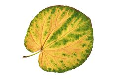 Leaf of yellow and green colors. Isolated Royalty Free Stock Photos