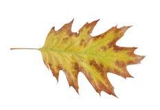 Leaf yellow isolated maple isolated on white like eco planet symbol Royalty Free Stock Photography
