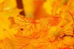 Leaf, Yellow, Maple Leaf, Autumn Stock Image