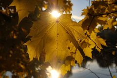 Leaf, Yellow, Maple Leaf, Autumn Royalty Free Stock Images