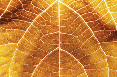 Leaf. Yellow red leaf stalk and abstract background Royalty Free Stock Photography
