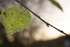 Leaf yellowing Stock Photo