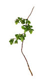 Leaf of young green twig raspberry bush isolated leaves on whit. E background for scrapbook, draw object, spring leaf Royalty Free Stock Images