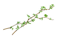 Leaf of young green twig raspberry bush isolated leaves on white. Background for scrapbook, draw object, spring leaf Royalty Free Stock Photo