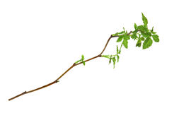 Leaf of young green twig raspberry bush isolated leaves on white. Background for scrapbook, draw object, spring leaf Royalty Free Stock Photography