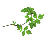 Leaf of young green twig raspberry bush isolated leaves on white. Background for scrapbook, draw object, spring leaf Stock Photo
