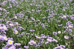 Leafage和飞蓬属植物speciosus紫罗兰色花  库存照片