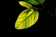 Leafage Imagens de Stock Royalty Free