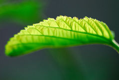 Leafage photographie stock