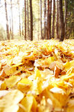 Leafage. Photo of autumnal leafage in the forest Stock Images