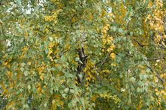 Leafage of birch tree in mid autumn. Leafage of birch tree in autumn Stock Images