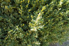 Leafage of European boxwood shrub. In autumn Stock Photography