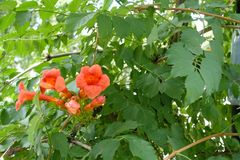 Leafage and flowers of trumpet creeper. Leafage and orange flowers of trumpet creeper Royalty Free Stock Images