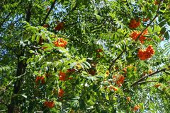 Leafage and fruits of Sorbus aucuparia. Tree Royalty Free Stock Photography