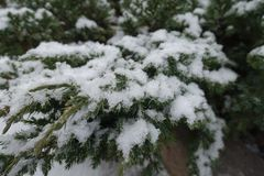 Leafage of Juniperus squamata covered with snow. In winter Stock Photography