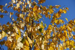 Leafage of linden tree against blue sky in autumn. Leafage of linden tree against the sky in autumn Stock Image