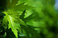 Leafage of mapple on a blurry background. Of a foliage Royalty Free Stock Photos