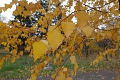 Leafage otoñal del abedul en noviembre Fotos de archivo libres de regalías
