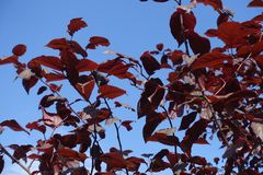 Leafage of prunus pissardii against blue sky. Leafage of prunus pissardii against the sky Stock Images