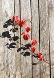 Leafage vermelho da uva selvagem nos painéis de madeira da cerca Foto de Stock