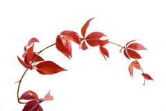 Leafage of wild grape. Sheets of wild grape on white Stock Photos
