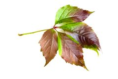 Leafage of wild grape. Sheets of wild grape on white Royalty Free Stock Image