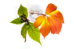 Leafage of wild grape. On white background Royalty Free Stock Photos