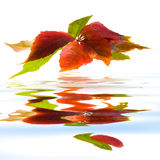 Leafage of wild grape. On white background Royalty Free Stock Image