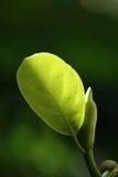 leafanbud royaltyfria bilder