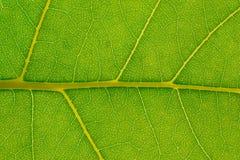 Leafbakgrund Royaltyfri Fotografi