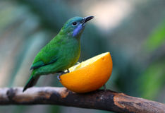Leafbird. Blue-winged Leafbird Eating Orange stock photography