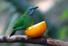 Leafbird Stock Photography