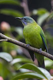 Πορτοκαλής-διογκωμένο Leafbird Στοκ Φωτογραφίες