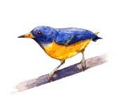 Leafbird Anaranjado-hinchado Foto de archivo libre de regalías