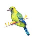 Leafbird Azul-con alas Fotografía de archivo libre de regalías