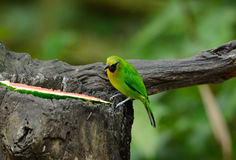 Leafbird blu-alato maschio Fotografia Stock