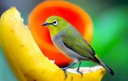 桔子鼓起的leafbird 库存照片