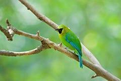Leafbird con alas azul (varón) Imagenes de archivo