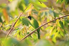 Leafbird De oro-afrontado Imágenes de archivo libres de regalías