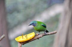 Leafbird Orange-gonflé mangeant l'orange Image stock