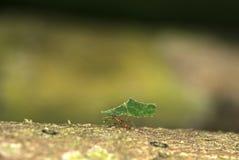 Leafcutter蚂蚁 免版税库存照片