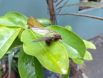 Leafcutter蚂蚁 免版税库存图片