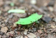 Leafcutter Ameisen stockbild
