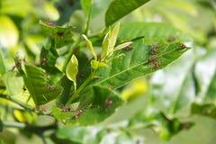Leafcutter-Ameisen auf Blättern mit den frischen Klumpen entfernt Lizenzfreies Stockfoto