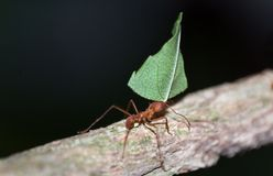 Leafcutter Ant. The Leafcutter Ant (Atta cephalotes) at work royalty free stock image