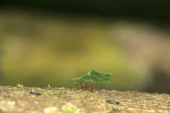 Leafcutter ant. (Atta cephalotes) carrying a leaf, Amazon rainforest, Peru royalty free stock photos