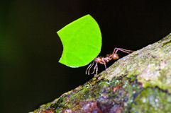 Leafcutter ant Royalty Free Stock Images